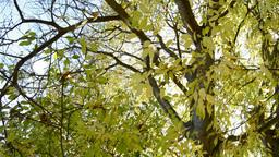Tree leaves in autumn Footage