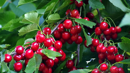 Cherry stock footage