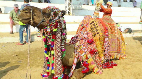 Decorated camel Footage
