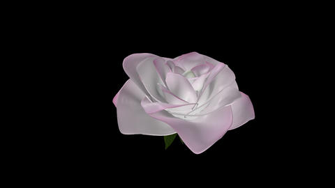 White Rose Flower - Rotating Close Up stock footage