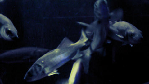 Group of fish under the sea, fish knife Footage