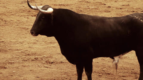 Powerful spanish bull, bullfight arena Live Action