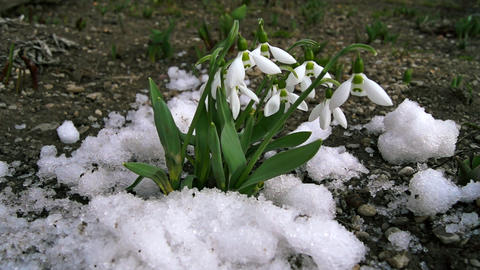 melt snow and snowdrops Footage