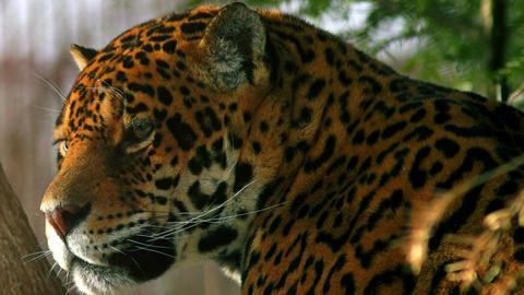 The Graceful Jaguar stock footage