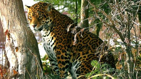 the graceful jaguar Stock Video Footage