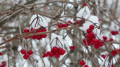 snowball red branches under snow at winter Footage