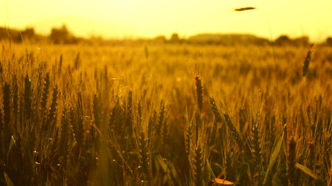 Golden Wheat In The Sunset stock footage
