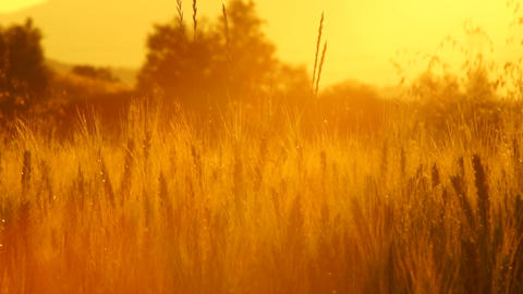 golden wheat in the sunset Footage