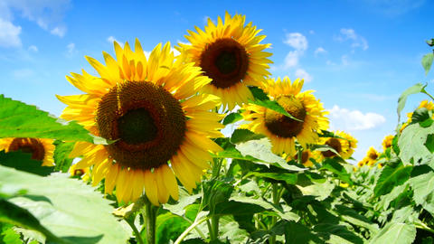 lot of sunflowers in the sunny day Footage