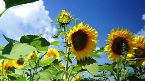 Lot Of Sunflowers In The Sunny Day stock footage