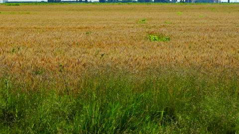 Field Of Golden Wheat stock footage