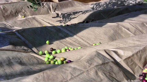 Olives Falling To The Ground stock footage