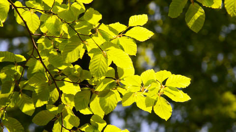 Branch of beech tree with leaves Footage