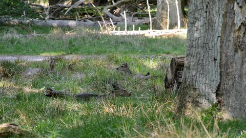 Female deers eating grass Footage