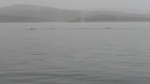 Humpback whales Footage