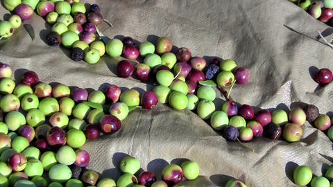 Olives On The Ground Close Up stock footage