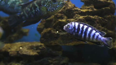 Striped fish from the underwater artificial reef Footage