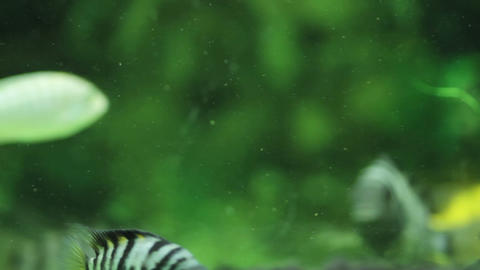 Striped fish floating in algae Footage