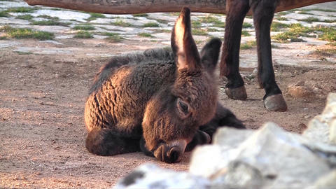 Baby Donkey Close Up stock footage