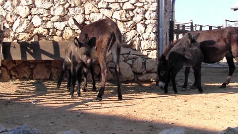 Donkey Family stock footage