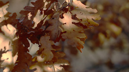 Close up dolly shot on oak leaves Footage