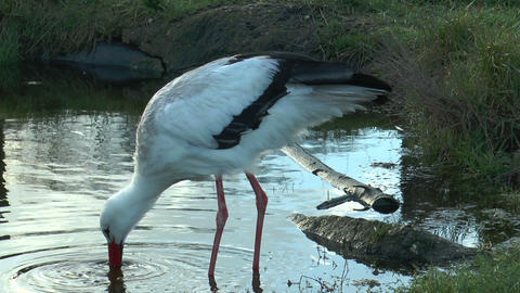white stork digging in pond for food Footage