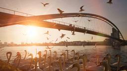 swarm of birds silhouette. swan lake. sunset Footage