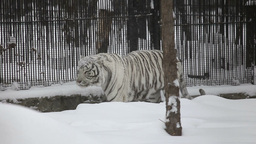 White tiger Live Action