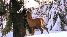 Deers And Red Deer In Winter Forest stock footage