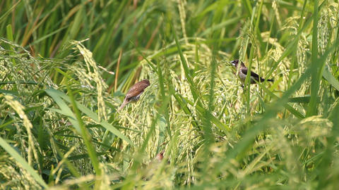 Scaly-breasted Munia in the green rice paddy Footage