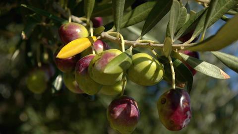Olive on tree Footage