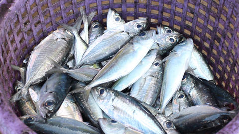 Fresh fishes form Andaman sea Live Action