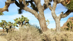 Joshua Tree in Mojave Desert Footage