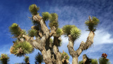 Joshua Tree In Mojave Desert stock footage