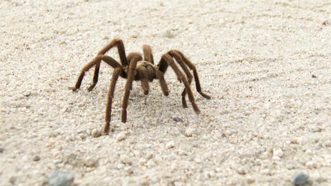 Desert Tarantula Footage