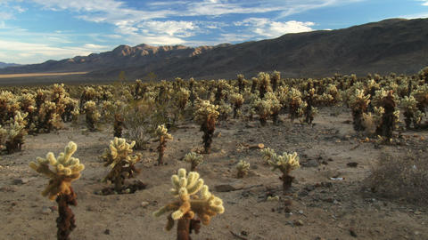 Desert Full Of Cholla Cactus stock footage