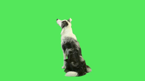 Dog barking in green screen studio Live Action