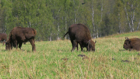 Bison Footage