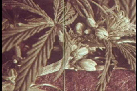 The General Characteristics Of Identifying Marijua stock footage
