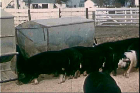 Activities on a hog farm in 1955 Footage