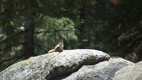 Chipmunk is resting on a large rock Footage