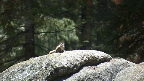 Chipmunk is resting on a large rock Stock Video Footage