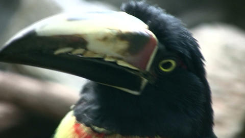 Closeup of a Collared Aracari's watchful eye Stock Video Footage