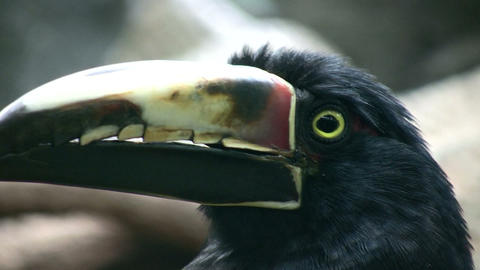 Closeup of a Collared Aracari's watchful eye Footage