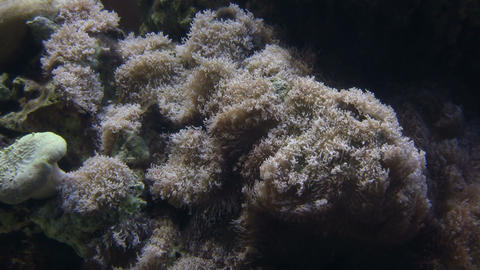 Some Coral gently sways in water Stock Video Footage