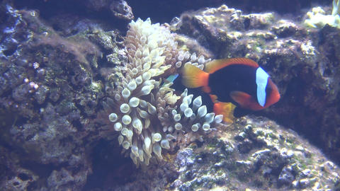 Fish is rubbing up against some Bulb-Tip Anemone Stock Video Footage