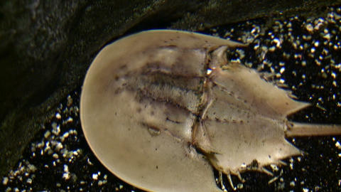 Closeup of a Horseshoe Crab walking under water Stock Video Footage