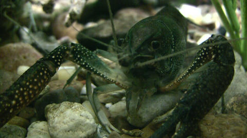 Close-up of a Red Swamp Crayfish resting underwater Footage