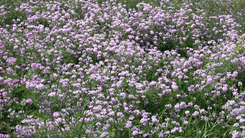 Crown Vetch wildflowers gently sway in the wind (High... Stock Video Footage