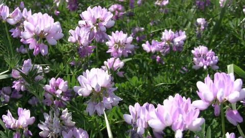 Crown Vetch wildflowers gently sway in the wind (High Definition) Footage